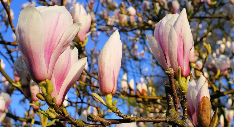 Magnolia krzewy pięknie kwitnące